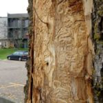 Tree Treatment Options for Emerald Ash Borer